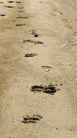 Bj?rnespor p? stranden. Foto: Christian Engelschi?n