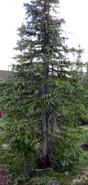 Treet har vokst gjennom ovnen til Helge Ingstad i vinterkvarteret i North West Territories. Foto: Christian Engelschi?n, Sandy Lake Expedition, 2013.